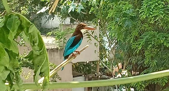 Photo of Is it White-breasted Kingfisher..?